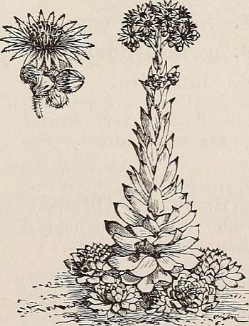 Dibujo de Fabaria Sedum telephium