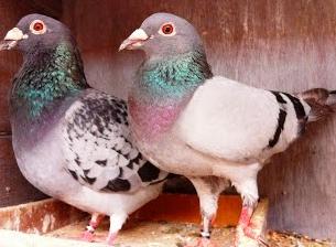 Download 78  Gambar Burung Merpati Pos  Paling Bagus Gratis