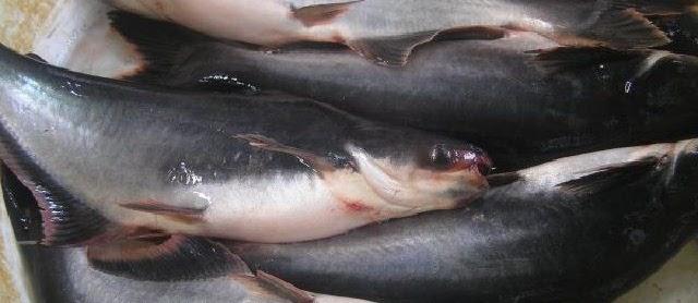 Begini Cara Budidaya Ikan Patin secara Intensif di Kolam Beton, Kolam Terpal, dan Kolam Tanah