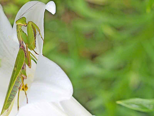 Praying Mantis, flower, lily, garden