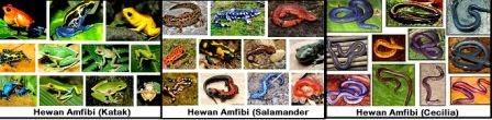 Amphibia (Pengertian, Ciri-Ciri, Klasifikasi dan Peranannya)