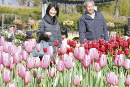 寒い冬に花が開くアイスチューリップ見頃