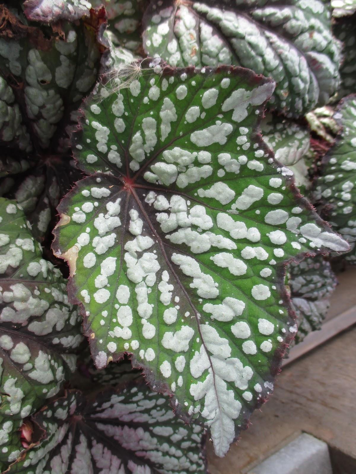 Jurassic Rex Begonias - Rotary Botanical Gardens