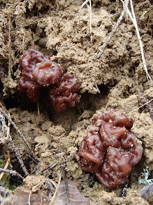 Piestrzenica kasztanowata Gyromitra esculenta