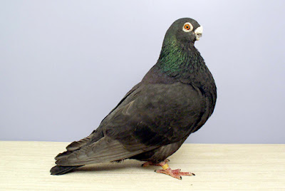 cropper pigeons - spain pigeons - black fancy pigeons - Buchon Rafeño