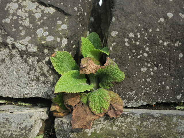 Foxglove in the gaps between stones on a stone wall.