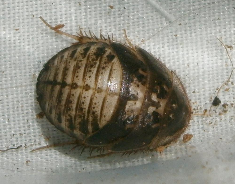 A.floridensis%25238.JPG