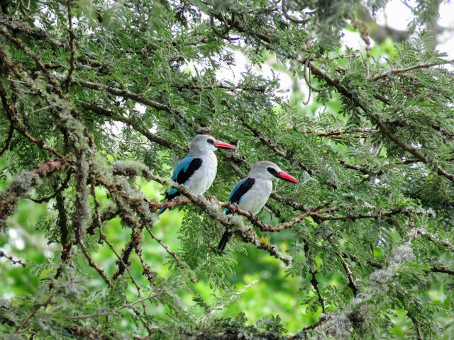 Woodland Kingfisher in Uganda's Mburo National Park