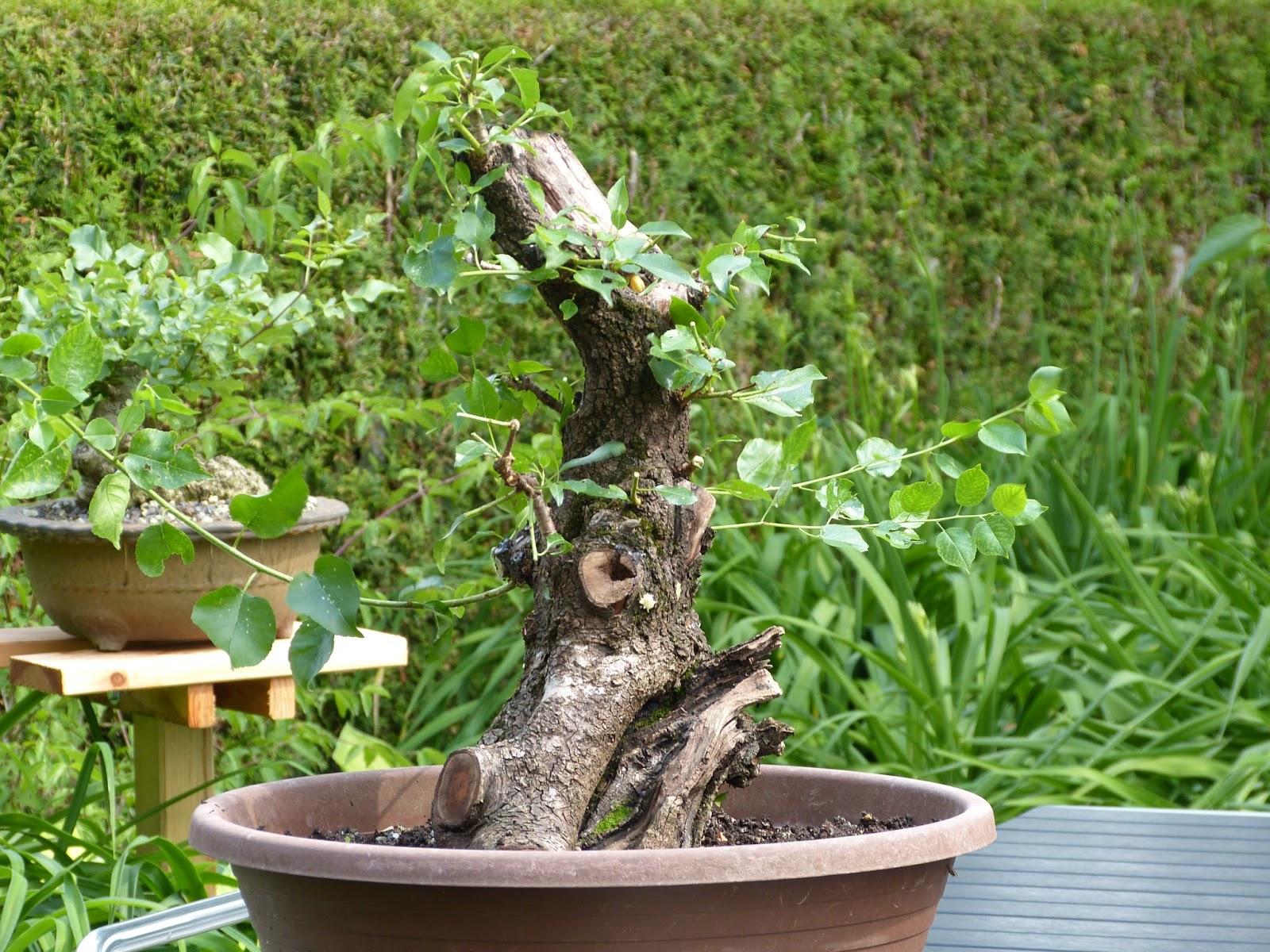 holger 39 s bonsai blog prunus mahaleb. Black Bedroom Furniture Sets. Home Design Ideas
