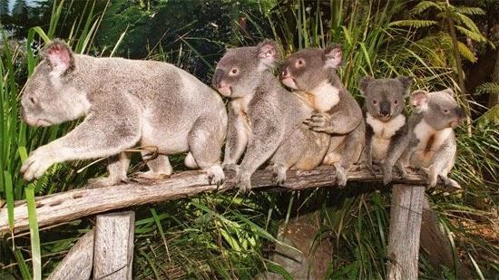 coalas na austrália