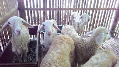 investasi, kota malang, domba, kim, lomba, khusnul khotimah, fokus, hadiah, hibah, berkah, kerja sama