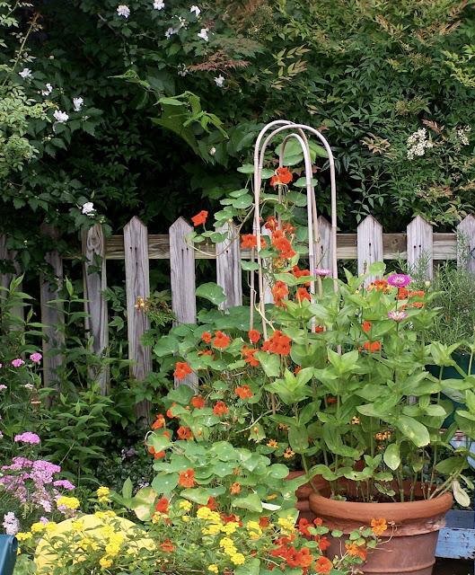 Profusion of orange nasturtium, yellow lantana and zinnia seedlings grow in the potager.