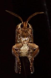 Unusual Moth in Puriscal