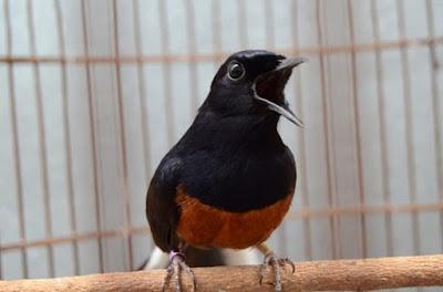 Cara Dan Tips Agar Burung Murai Batu Bisa Tampil Nagen Di Tangkringan Saat Lomba