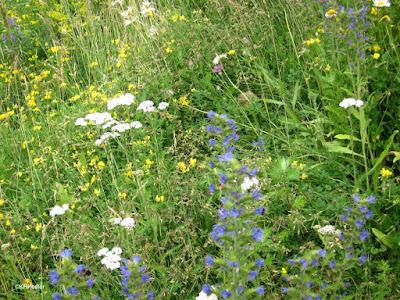 wildflowers, Finland