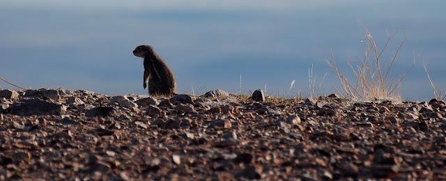 Xerus inauris, l'écureuil de terre du Cap