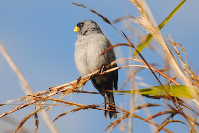 Band tailed Seedeater