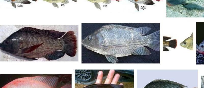 Perbedaan Ikan Nila dan Mujair Secara Umum