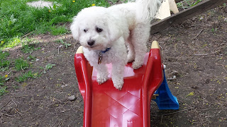 Image: Dexter on the Slide (c) Catherine Watt of PupVacay.com - All rights reserved