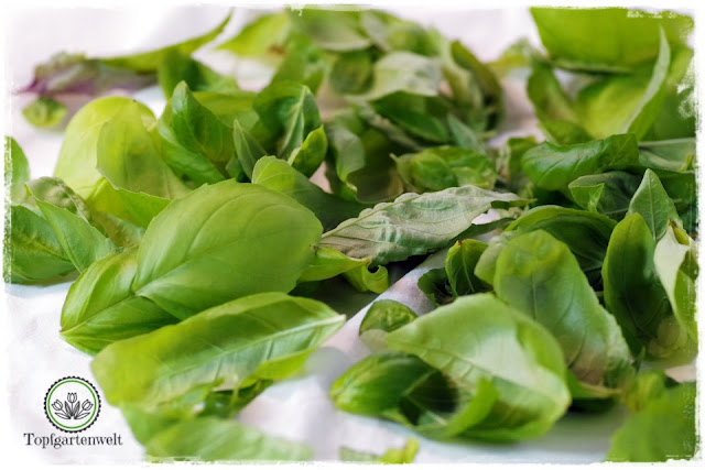 Basilikum im Topf pflanzen Tipps damit es nicht eingeht - Gartenblog Topfgartenwelt