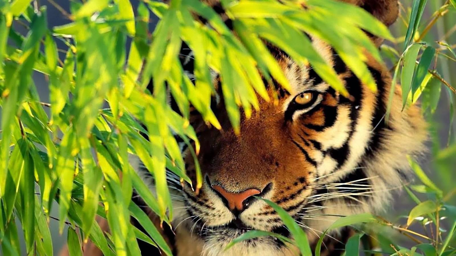 Tiger Hd Wallpapers: All New Wallpaper : Tiger Hd Wallpapers