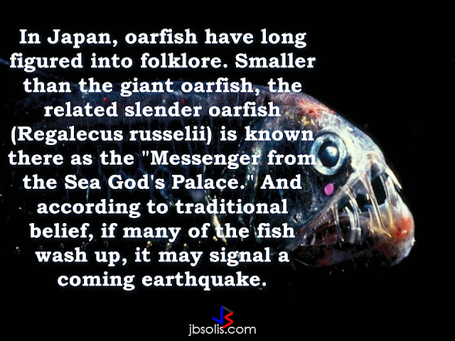 """A lot of speculation towards this giant sea creature has been on the rise since  Surigao City, Philippines was hit by a  6.7 magnitude earthquake and prior to the said disaster that killed 8 people, a giant oarfish was seen in the shore, which many people believe that the oarfish sighting was a warning that the giant sea animal has somehow knew that disaster was about to happen.     The National Geographic has these facts about the mysterious sea creature to set the records straight:   1. The oarfish is the world's longest bony fish.     2. Giant oarfish tastes like gelatinous goo.     3. Giant oarfish eat tiny plankton and aren't dangerous.     4. Oarfish lack scales.      5. Oarfish have been said to forecast earthquakes.      According to the reports,  a 10-foot-long dead oarfish was caught by fishermen off the coast of Agusan del Norte days before the devastating earthquake took place. Dr. Rachel Grant , a researcher in animal biology who study the possibility of detecting earthquakes using animal behavior said that the 'myth' about the oarfish being able to sense the forecoming earthquake can be possible.   In research published in the International Journal of Environmental Research and Public Health in 2011, Grant and a research team found that tectonic stresses in the Earth's crust send """"massive amounts of primarily positive air ions into the lower atmosphere."""" When these ions reach a body of water, they oxidize """"water to [create] hydrogen peroxide. Other reactions at the rock-water interface include the oxidation or partial oxidation of dissolved organic compounds,"""" the authors wrote. The resulting compounds """"may be irritants or toxins to certain species of animals,"""" possibly resulting in the toads' migration from an otherwise welcoming pond.      However, another scientist does not conform to the idea that animals can detect the forthcoming earthquake. Catherine Dukes said: """"The question is, can we detect it in the environment?"""" And can animals detect a sud"""