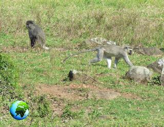 samango monkey, vervet monkey, darwin primate group, sykes monkey, blue monkey, cercopithecus, chlorocebus,