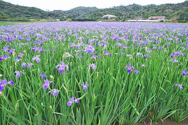 Iris fields, hillsides, wide angle image