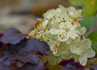 Lieblingsgehölze im Geniessergarten von Renate Waas, Die besten Hortensien für den Garten