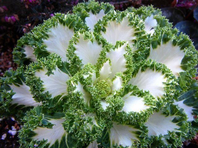 Embora também seja comestível, tende a ter um sabor levemente amargo, além de folhas mais duras. É por isso que sua presença nas mesas é mais comum sob a forma decorativa.  Brassica oleracea, são plantas herbáceas, que engloba a couve, repolho, brócolis, couve de Bruxelas e a couve flor.