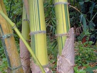 jenis-bambu-peting.jpg