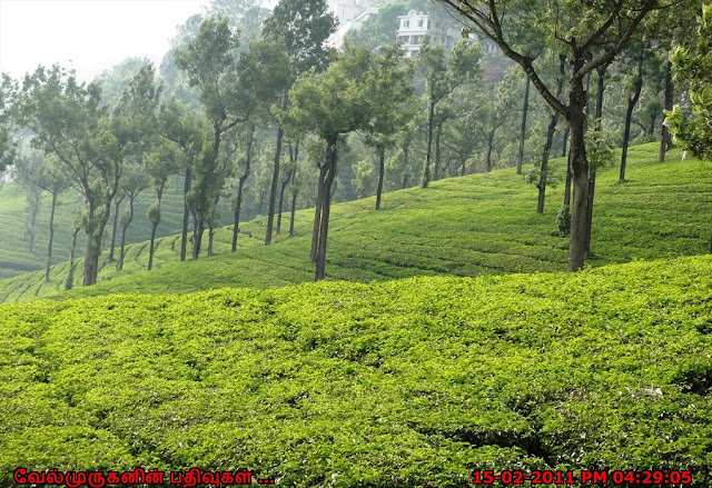 Tata Tea Estates in Munnar