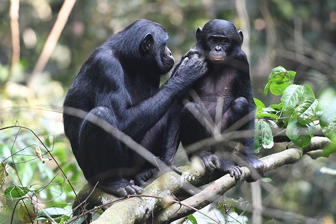 Dlium Males with a mother living in their group have higher paternity success in bonobos