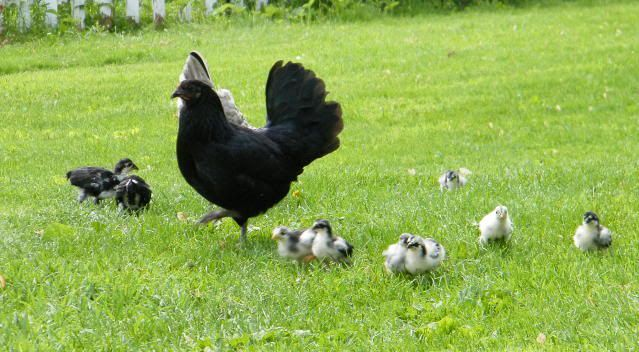 Natural Chicken Keeping: Should I Vaccinate My Chickens / Poultry