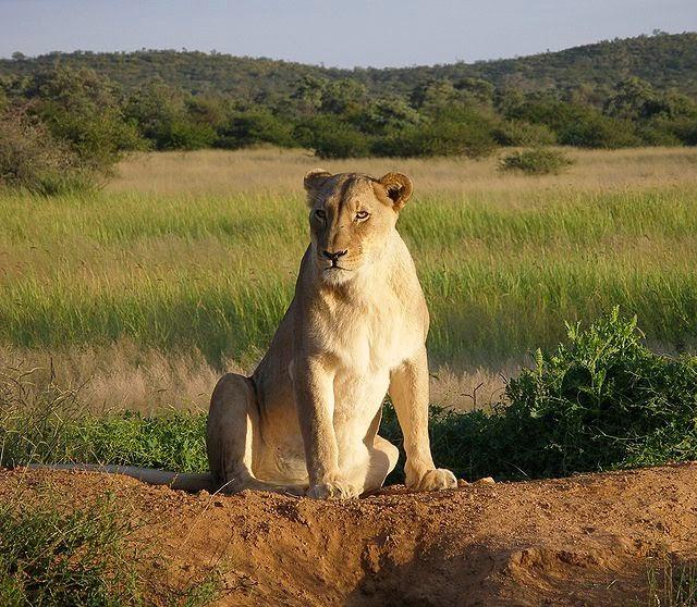 الاسد الافريقى واين يتواجد Panthera