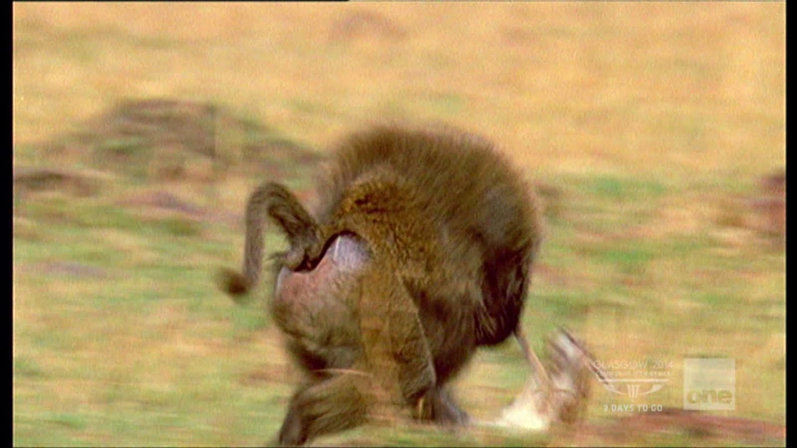 Baboon Trying To Steal A Baby Gazelle