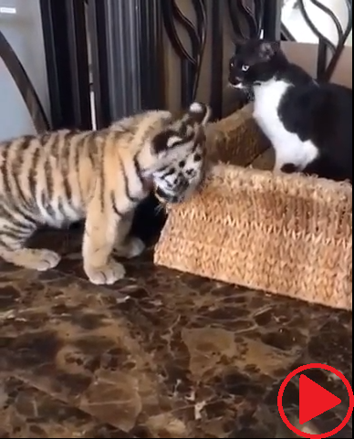 My sister comforts an upset tiger cub after vicious attack