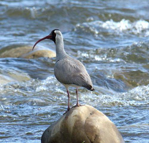 Birds of India - Photo of Ibisbill - Ibidorhyncha struthersii