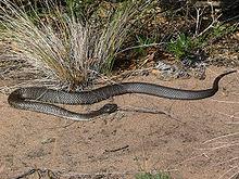 Serpente-Tigre ou (Notechis Scutatus)
