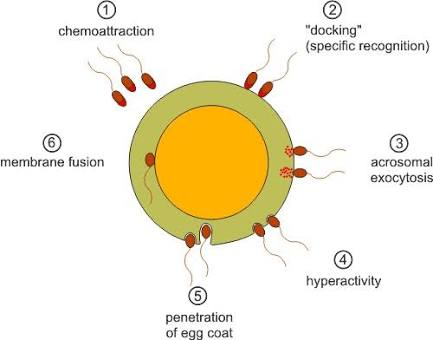 Hipo-osmotik Tes Sperma Menurun (HOS Test)