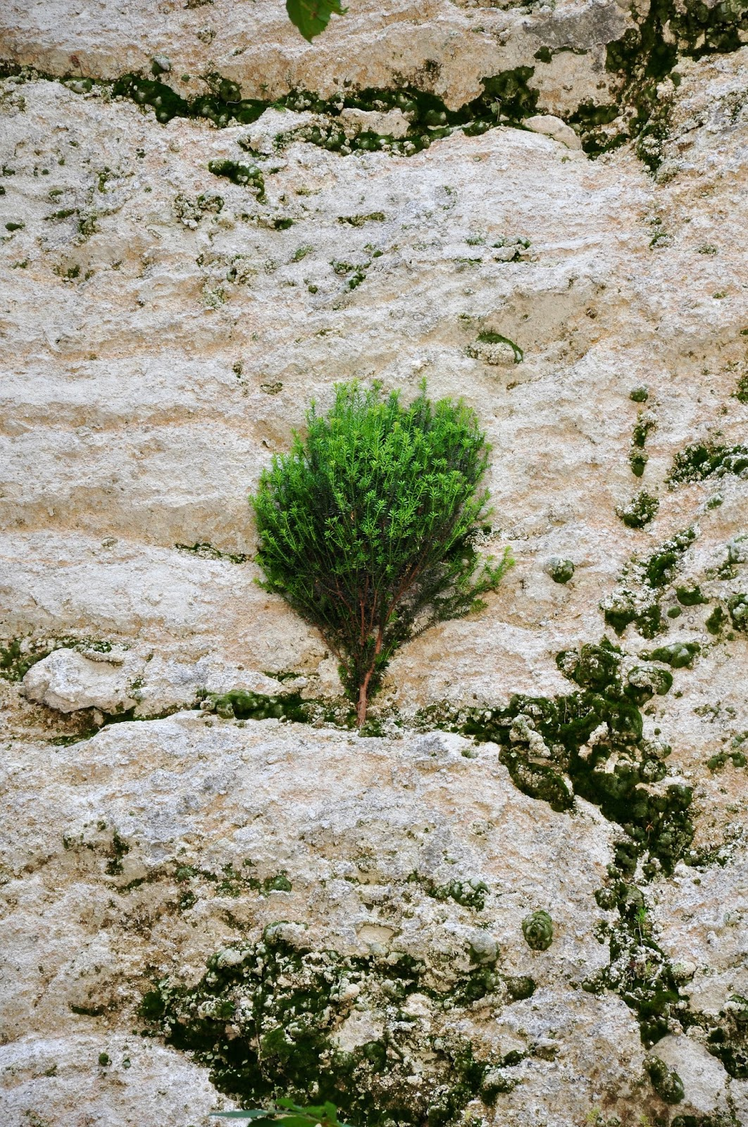 A tree growing on the vertical rocks, Madara, Bulgaria