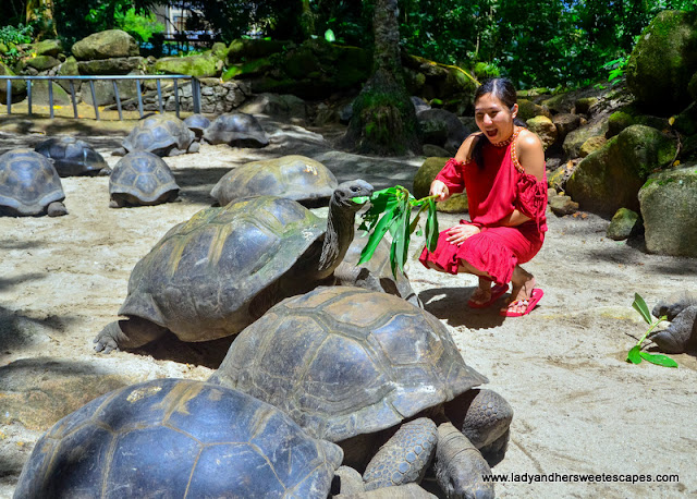 Tortoise feeding in Seychelles