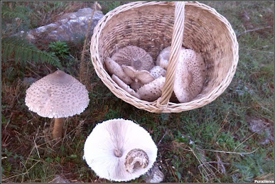 Macrolepiota procera. Sombrero, pie y láminas