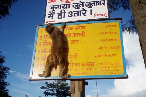 Monyet Pembunuh Di India