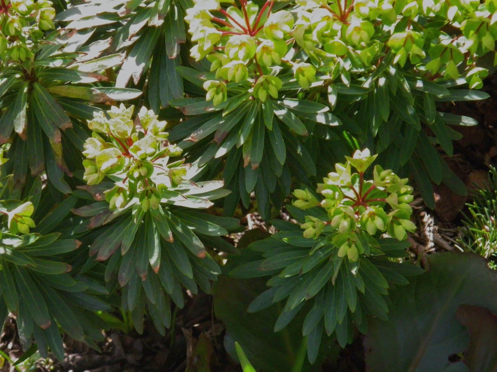 I M In The Garden Today Euphoric Over Euphorbia