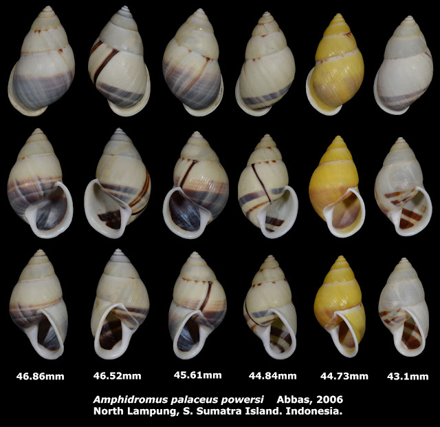 Amphidromus palaceus powersi 43.1 to 46.86mm