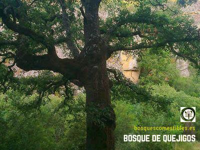 Quercus canariensis, Quejigo o Roble Anadaluz, es un árbol robusto de hasta 30m de altura.