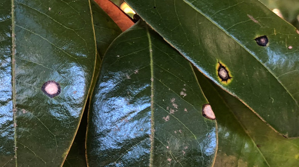 Anthracnose tree disease dead spots on leaves Marietta