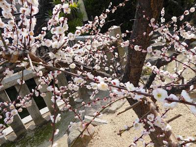 大阪天満宮の梅