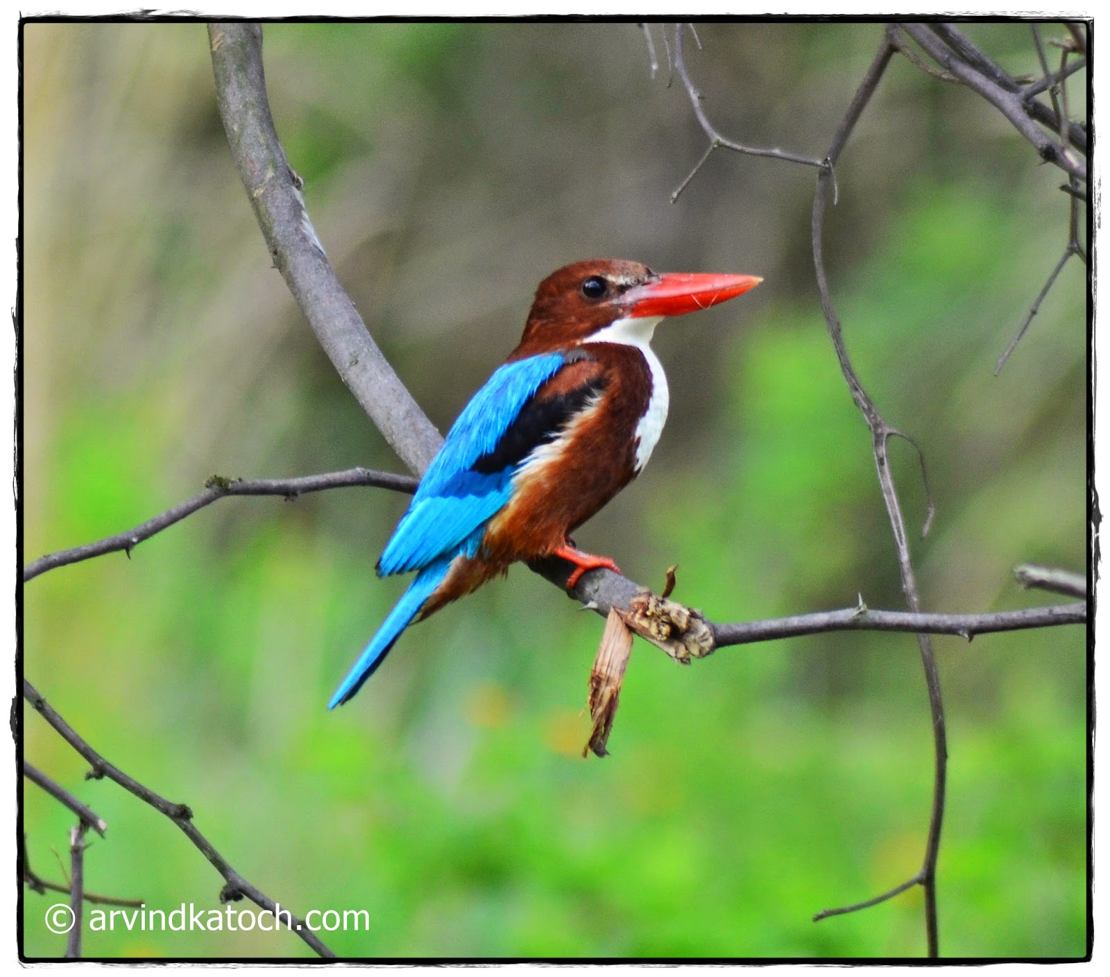 White Throated Kingfisher, kingfisher, wild